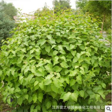基地供应 丁香小苗 庭院绿化紫丁香苗 规格齐全 四季丁香观花植物