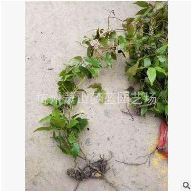 油麻藤 藤长30-60公分 有核 成活率高 四季 长绿 爬藤类 庭院