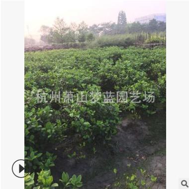 大叶栀子花球 30-150公分 土球好 冠幅好 根系旺 成活率高 优质苗