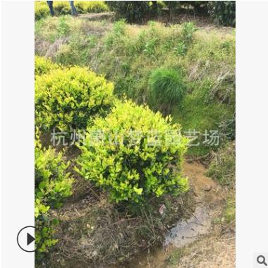 金森女贞球 冠幅80-200 园林 绿化 庭院 道路 工程 萧山 苗木