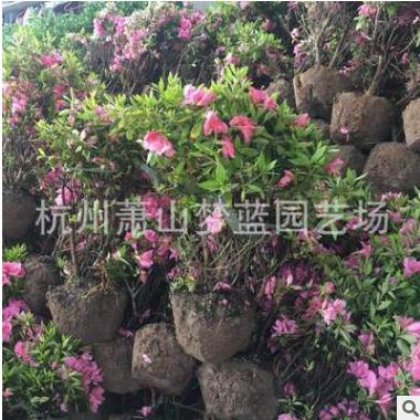 春娟球 冠幅20-100公分 园林 树木 绿化 土球 萧山苗木 优质精品