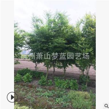鸡爪槭 1-20公分 灌木 乔木 行道树 规格齐全 园林 绿化 萧山苗