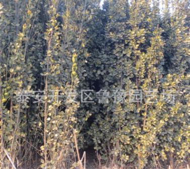 1.2米-1.8米高北海道黄杨树苗价格 山东绿篱北海道黄杨树