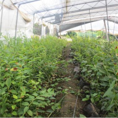 盆栽蓝莓树苗 蓝莓苗价格 当年可挂果盆栽蓝莓树苗