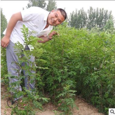 什么季节种植花椒苗成活率高农户直销量大协助找车大红花椒苗价格