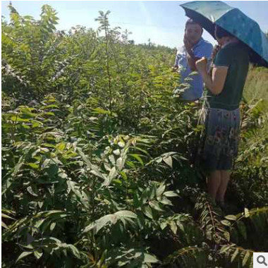 香椿苗出圃时应注意哪些问题 大棚种植红油香椿苗 露天种菜香椿苗