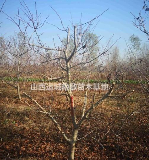 山西省运城市艳敏苗圃山楂树