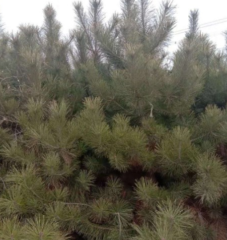 油松大小规格出圃中