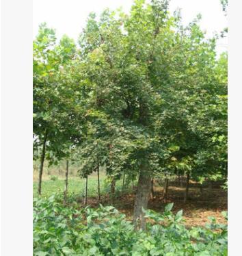 供应三角枫树苗大量批发 低价三角枫