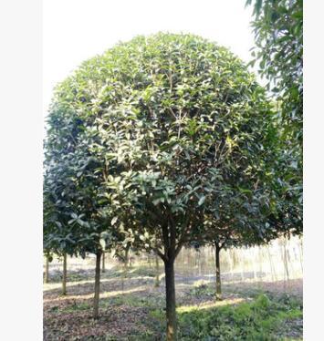 供应朱砂桂树苗大量批发 朱砂桂 自产自销 园林绿化行道树