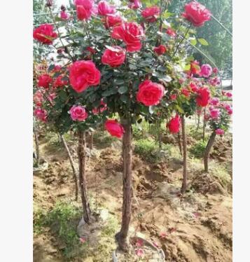 供应树状月季树苗 大量批发 绿化园林行道树
