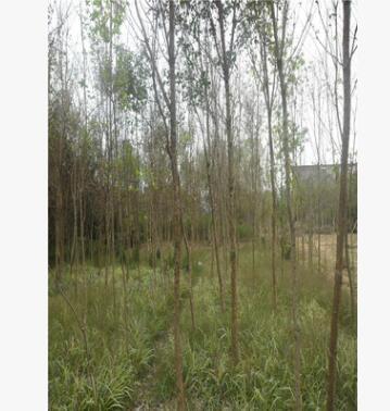 流苏树苗大量批发 自产自销 园林绿化行道树