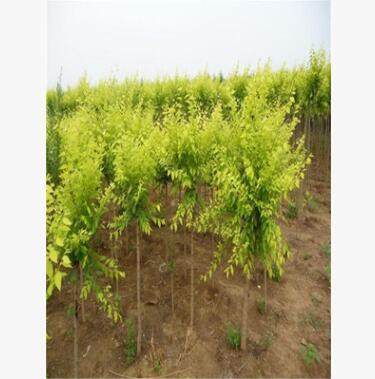 大量供应金叶榆树苗大量批发 自产自销 园林行道绿化风景树
