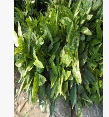 供应洒金珊瑚苗大量批发 洒金珊瑚 广汉园林绿化工程供应