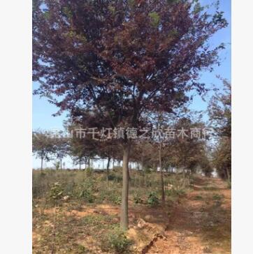 基地直销绿化苗木精品榉树行道树树形优美规格齐全