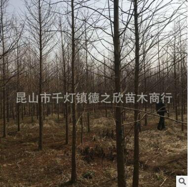 生产直销花卉绿化水杉 10CM水杉 乔灌木水杉 耐寒易活水杉