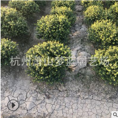 龟甲冬青球 冠60-80 绿化 灌木 常绿型 苗木 规格 品种 齐全