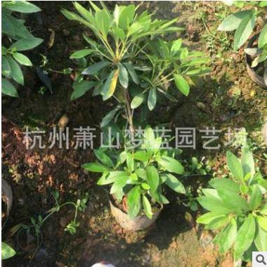 毛杜娟大杯 高30-40 工程 绿化 庭院 色块 地被类 成活 率高