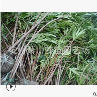 多年夹竹桃 工程 绿化 道路 行 树 精品苗 成活 率高 萧山 苗木