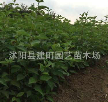绿化苗木批发 红瑞木 红马球 丛生红瑞木苗 工程绿化 规格齐全