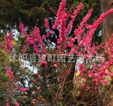 大量批发红梅苗 大规格红梅树苗 优质红梅小苗 规格齐全