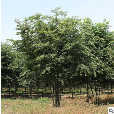 工程绿化榉树苗木批发行道护坡 园林工程绿化榉树苗木行道庭荫树