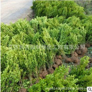 苗木批发瓜子黄杨工程用绿化小苗种植景观篱笆墙植物树苗苗木