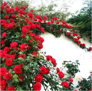 耐寒月季小苗爬藤植物欧月玫瑰蔷薇花苗藤本月季四季开花盆栽花卉