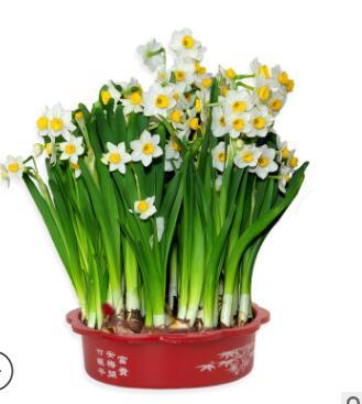 冬季耐寒盆栽水培花卉水仙花种球水仙花种子大球带盆套餐水养植物