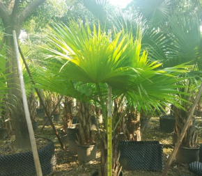 盆栽蒲葵 例植孤植均可葵树