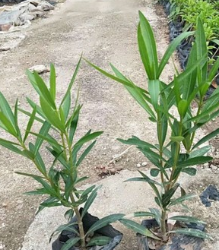 观赏花卉红花甲竹桃 群植丛植均可夹竹桃