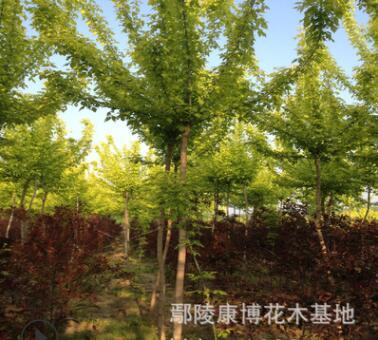 金叶复叶槭大量批发