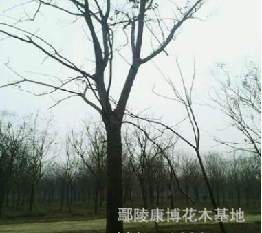 优质栾树基地,黄山栾树