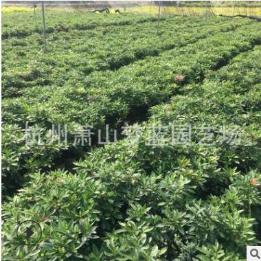 杜鹃花 园林 绿化 工程苗 精品 优质 成活率高 萧山 苗圃 直销