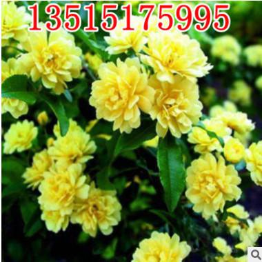 苗圃批发绿化爬藤植物木香花蔷薇花苗 开花十里香 七里香当年开花