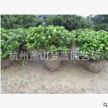 紫鹃球 品种规格 齐全 萧山 园林 绿化 工程 别墅 用苗 量多直销