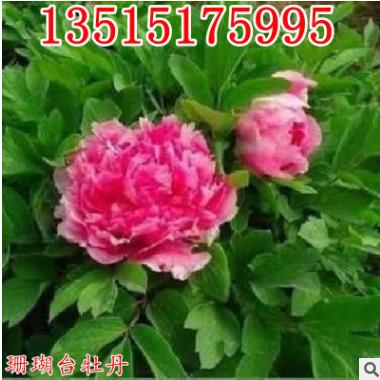 庭院植物菏泽牡丹花王 珊瑚台牡丹花苗 盆栽牡丹苗 批发当年开花