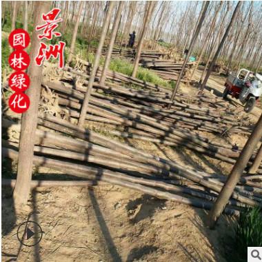 基地直销苦楝树 苦楝苗 4-12公分苦楝价格 园林工程 观赏植物