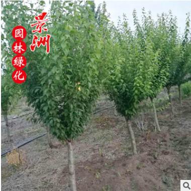红梅批发 嫁接红梅 绿梅 景区园林绿化树各种规格 基地直销