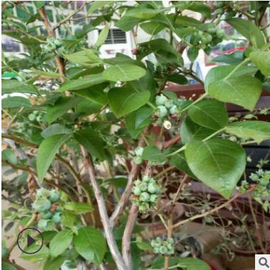 蓝莓苗土壤适应强易栽培收获期长蓝莓苗山东基地直销优质蓝莓苗