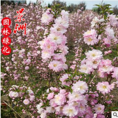 供应榆叶梅 满天星 重瓣榆叶梅绿化工程 鲜切花用苗