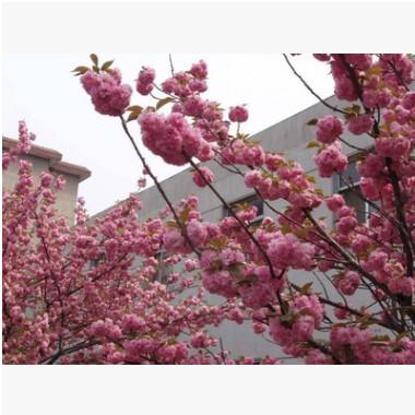 红叶碧桃 紫叶碧桃 园林景观植物小苗风景树 红花碧桃 重瓣碧桃