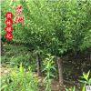 哪里有卖红梅树 红梅价格绿化工程 梅花树基地直销嫁接红梅