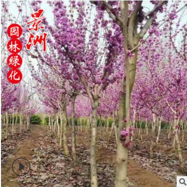 精品独干紫荆 2-6公分独干紫荆价格 丛生紫荆 独杆紫荆基地直销