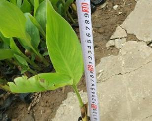 中山花木基地供应 美人蕉 袋苗