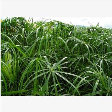旱伞草 水生 植物 成活率 高 精品 优质苗 各种 绿化 工程 园林