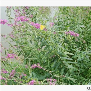 千屈菜 土球好 冠幅好 花灌木 地被 球类 色块类 草花类 乔木园林