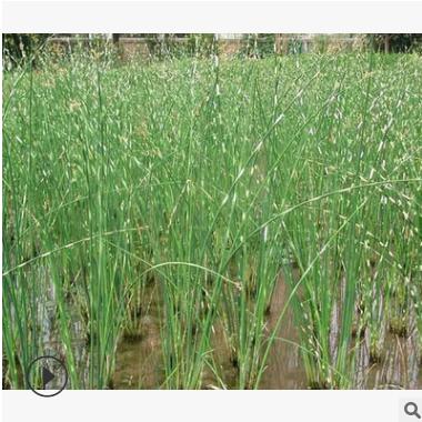 水葱 水生植物 品种 规格 齐全 优质苗 成活率高 价格底 萧山苗