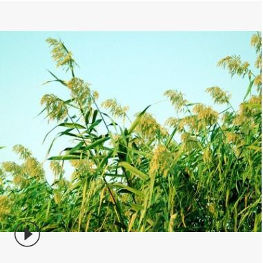 芦竹 水生 植物 地被 色块类 品种 规格 齐全 萧山 园林 绿化