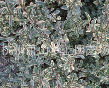 银鸡小腊 土球好 冠幅好 精品 优质苗 成活率高 萧山 园林 苗圃